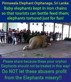 PLEASE SHARE: Please do NOT visit the Pinnawala Elephant Orphanage, Sri Lanka! #ElephantAbuseAndTorture @rickygervais
