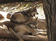 Wolf enclosure at the zoo Paranormal Romance Books, Werewolf, Wolves, Husky, Wildlife, Full Moon, Animals, Harvest Moon, Animales