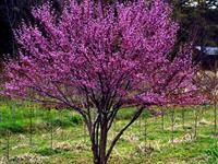 Image of Cercis canadensis 'Ace of Hearts' PP17161