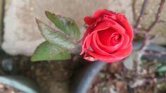 Bright Red Rose! ورد أحمر