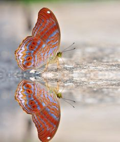 Red and Blue Butterfly Splashing Water