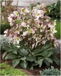 Wide range of Herbaceous Perennials available to Buy Online Today from Garden Beauty. Highest quality, UK grown Perennial Plants with Fast UK Delivery! Garden, Lenten Rose, Lavender Garden, Plants, Herbaceous Perennials, Perennials, Native Plants, Outdoor Gardens, Plant Sale