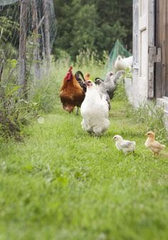 I don't really care for chickens much, but this is a fine lookin' group.