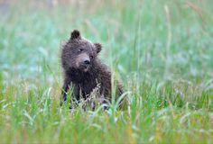 "(via / Photo ""Have you guys seen my Mom?"" by Nikolai Zinoviev) Grizzly Bear Cub, Bear Cubs, Polar Bears, Black Bear, Brown Bear, Baby Animals, Cute Animals, Love Bear, Cute Cats And Dogs"