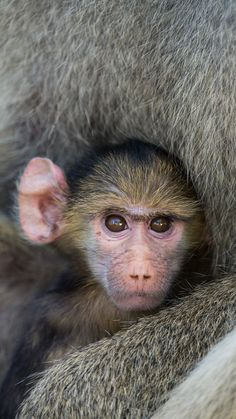 Baby Baboon by Jamen Percy on 500px