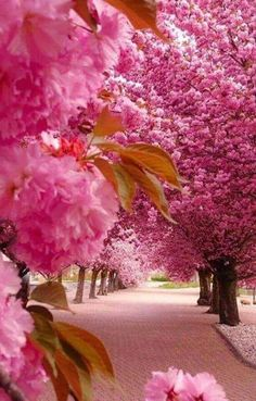 Gorgeous pink trees in bloom, apple blossom? All Nature, Amazing Nature, Pink Nature, Flowers Nature, Fall Flowers, Pink Flowers, Beautiful Flowers, Beautiful Places, Wonderful Places