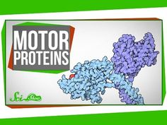Motor Proteins | Learning For Round Pegs