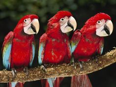 ~~ Red-And-Green Macaw Juveniles ~~
