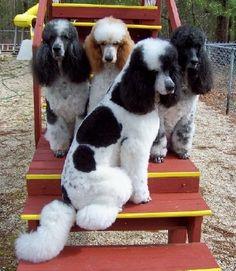 Parti Standard Poodles