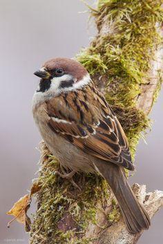 Passer montanus (Tree Sparrow) by zoran simic on 500px