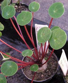 Peperomia scutellifolia