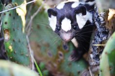 The Fascinating Evolution of the Worlds Most Charming Skunk