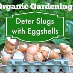 Organic Gardening - How to Deter Slugs and Snails with Egg Shells Slugs In Garden, Snails In Garden, Garden Bugs, Garden Insects, Garden Pests, Green Garden, Egg Shell Uses, Organic Gardening, Gardening Tips