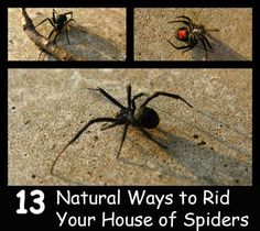 Keep Spiders Out of Your Home Naturally. Spraying store bought chemicals to rid your home of spiders works but full of chemicals. Go the natural route today