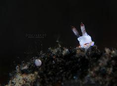 Goniodoris sp. | por Randi Ang