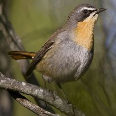 Cossypha caffra (Cape robin-chat, Cape robin)