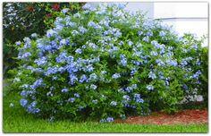 Bela-Emília – Plumbago auriculata  Planta muito versátil e rústica, a bela-emília é largamente utilizada no paisagismo.   Arbustiva e muito ramificada presta-se para cercas-vivas e pode ser tutorada como trepadeira.   Suas flores são delicadas em forma de pequenos buquês.   É mais comum encontrarmos espécimes de flores azuladas embora exista uma variedade de flores brancas.  http://sergiozeiger.tumblr.com/…/bela-emilia-plumbago-auric…