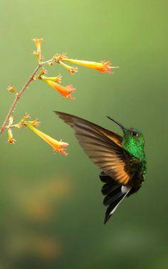 Stripe-tailed Hummingbird (Eupherusa eximia). A Central American hummingbird. photo: Chris Jimenez