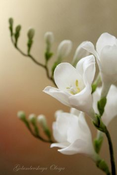 {OMG…you would swear these pretty white Freesias are real! They are by Olesya Golumbevskaya}