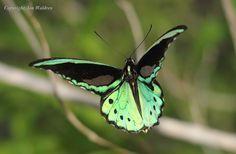 butterflies rare - Google Search