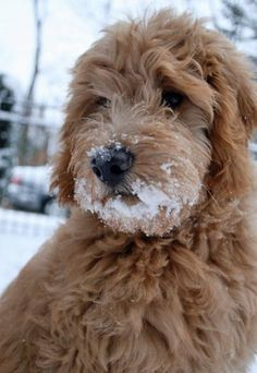 Oliver the Goldendoodle.but looks like my Max Chien Goldendoodle, Goldendoodles, Labradoodles, Apricot Goldendoodle, Cavapoo, Animals And Pets, Baby Animals, Cute Animals, Cute Puppies