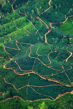 Sri Lanka - Les plantations de thé de Nuwara Eliya