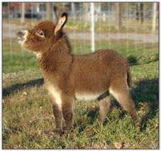 Dwarf Donkey or Miniature Donkey is enjoyable loving, cheerful, loyal and superiorly intelligent. So let's jump into some surprising mini donkey facts Zoo Animals, Animals And Pets, Funny Animals, Cute Animals, Baby Donkey, Cute Donkey, Mini Donkey, Funny Animal Videos, Funny Animal Pictures