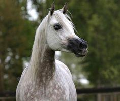 Suzanna (Ekstern x Splendida) 2006 grey mare