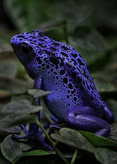 Blue Frog (by Nils Hastrup on 500px)