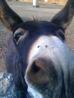 Menorquin Donkey