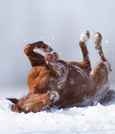10 Gorgeous Pictures Of Horses - Louise.lll - - 10 Gorgeous Pictures Of Horses Ah, it& just beautiful simply beautiful., brown horse rolling in snow on back, a snow roller snowrollers, All The Pretty Horses, Beautiful Horses, Animals Beautiful, Cute Animals, Simply Beautiful, Beautiful Horse Pictures, Beautiful Morning, Absolutely Gorgeous, Zebras