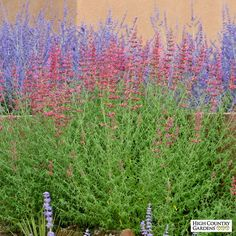 Pink and Orange Agastache Desert Sunrise, Agastache Desert Sunrise, Hybrid Hummingbird Mint Landscaping On A Hill, Landscaping Software, Landscaping Plants, Landscaping Ideas, High Country Gardens, Full Sun Plants, Sloped Garden, How To Attract Hummingbirds, Unique Plants