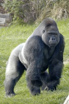 Primates, Mammals, Majestic Animals, Animals Beautiful, Gorilla Tattoo, Gorilla Gorilla, Animals And Pets, Cute Animals, Zoo 2