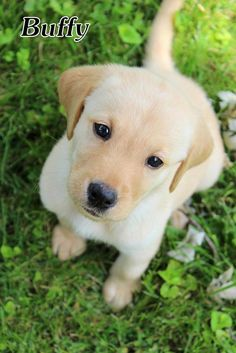 Meet Buffy, a Petfinder adoptable Yellow Labrador Retriever Dog | Waterville, OH | Buffy is a 10 week old (7/19) probably yellow lab mixed puppy. Buffy was brought to the Columbus...