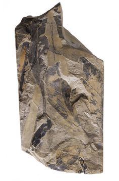 Glossopteris sp., fossil seed fern, in green shale slab, from the Permian Period of Hunter River, New South Wales, Australia