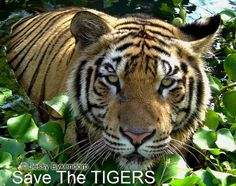 Save the Tigers - Bali - Photography by Jessy Eykendorp via @Wandering Educators