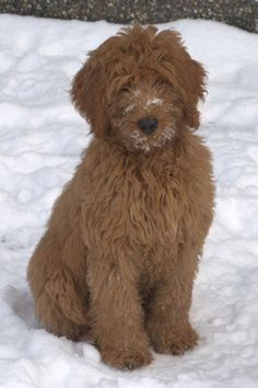 This one really looks like my labradoodle when his hair is grown out :) LOVE labradoodles!