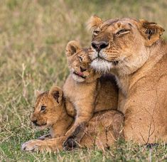A LITTLE family love for your furry morning. geetered. #BigCatFamily