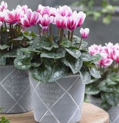Cyclamen Bicolour in Bud and Bloom complete with white display pot Dumbo The Elephant, Blue Fescue, Blossom Garden, New Leaf, Clematis, Dream Garden, Trees To Plant, Bud, House Plants
