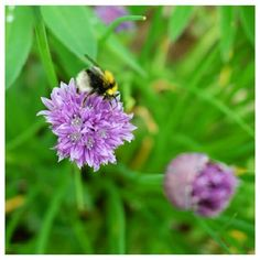Sweet little bumble bee enjoying some chives in the garden. Bee Friendly, Bees, Nature Photography, Wildlife, Gardening, Photo And Video, Instagram, Garten, Lawn And Garden