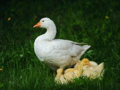 Slovenská biela hus, naše národné plemeno. Chov husí. Farmy, Bird, Animals, Animales, Animaux, Birds, Animal, Animais