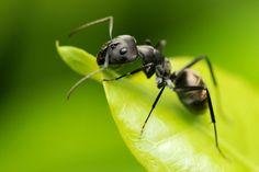 Садовые муравьи питаются зеленью и активно привлекают на участок тлю