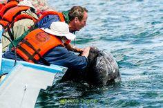 Grey Whale (Eschrichtius robustus), Guerrero Negro, Baja California Sur, Mexico.