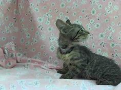 KILL DATE 9/5 at NOON. Manhattan Center My name is COACHELLA. My Animal ID # is A1012795. I am a female brn tabby domestic sh. The shelter thinks I am about 10 WEEKS old. I came in the shelter as a OWNER SUR on 09/03/2014 from NY, owner surrender reason stated was HOARDING. I am affectionate and friendly. Find me here: https://www.facebook.com/nycurgentcats/photos/a.855447621139893.1073742424.220724831278845/855447974473191/?type=3&theater
