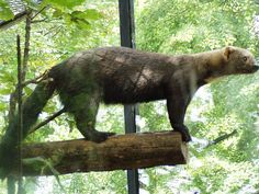 Tayra, Eira barbara, is an omnivorous animal from the weasel family. It lives in the tropical forests of Central America, So. America, and on island of Trinidad
