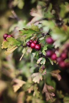 Colors of Fall Autumn berries Autumn Day, Autumn Leaves, Fall, Winter Berries, Happy Autumn, Autumn Rose, Autumn Forest, Autumn Garden, Autumn Theme