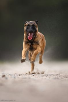 Dog in run motion tongue hanging out towards camera.  Malinois by ©Wolfruede.