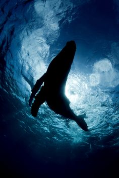 This silhouette of a Humpback Whale calf was taken in the Kingdom of Tonga in the south pacific where Humpbacks frequent the waters each year to mate and give birth.