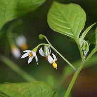 White Hawaiian Flowers - Solanum americanum – American Black Nightshade
