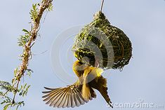 Photo about The southern masked weaver or African masked weaver is a resident breeding bird species common throughout southern Africa. Image of species, masked, constructing - 76928802 Bird Species, Southern, African, Birds, Stock Photos, Image, Bird